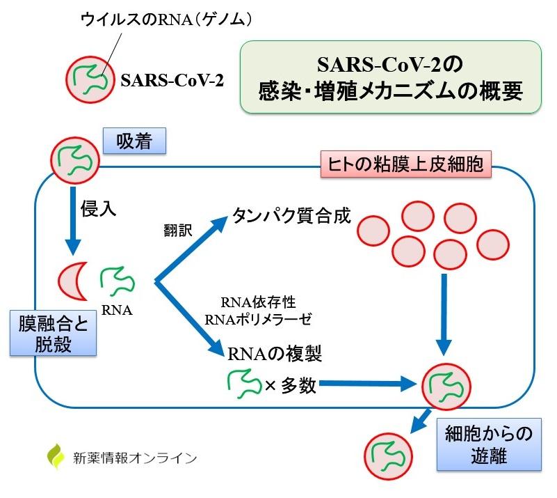新型コロナウイルス(SARS-CoV-2)の感染・増殖メカニズム