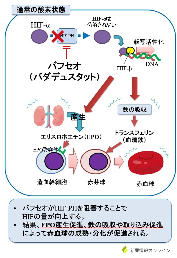 バフセオ(バダデュスタット)の作用機序・特徴:HIF活性化