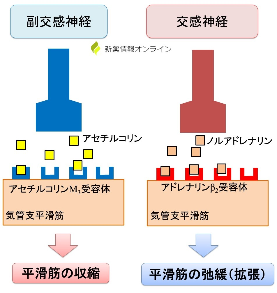 気管支平滑筋の収縮と弛緩(拡張):アセチルコリンとノルアドレナリン