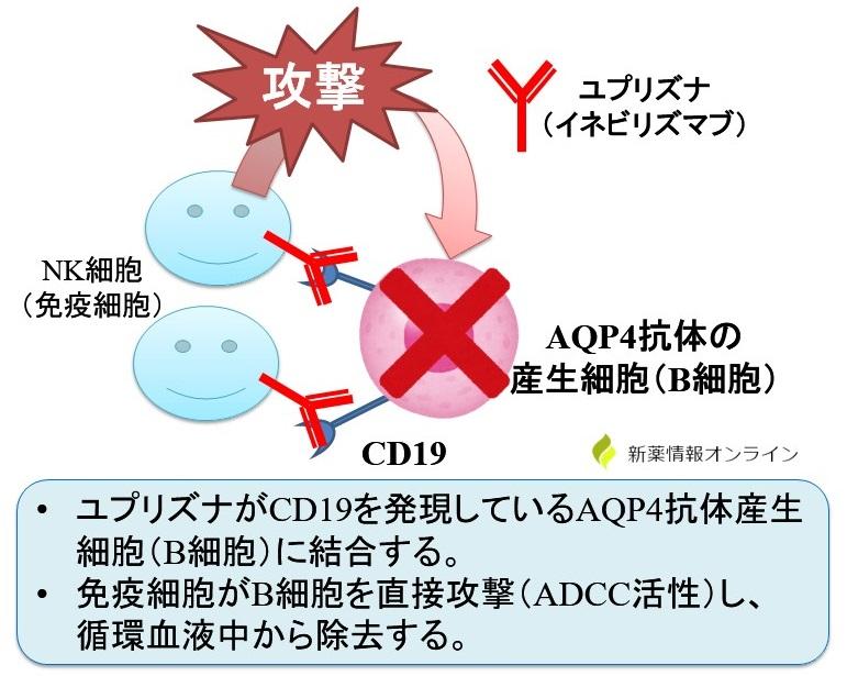 ユプリズナ(イネビリズマブ)の作用機序:抗CD19抗体+ADCC活性