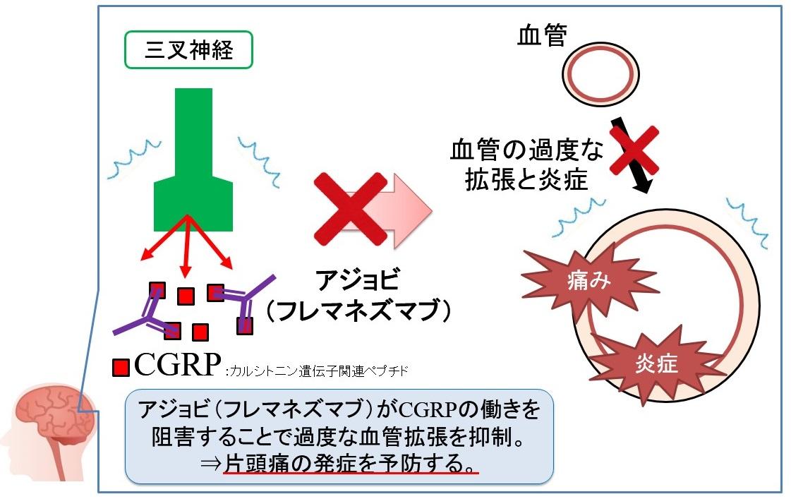アジョビ(フレマネズマブ)の作用機序:抗CGRPモノクローナル抗体
