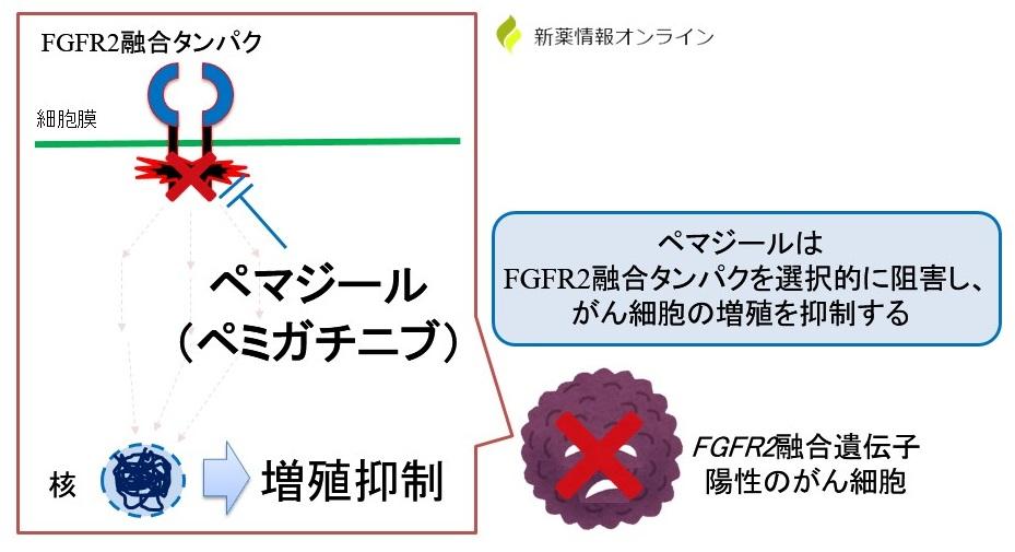 ペマジール(ペミガチニブ)の作用機序|FGFR2選択阻害薬