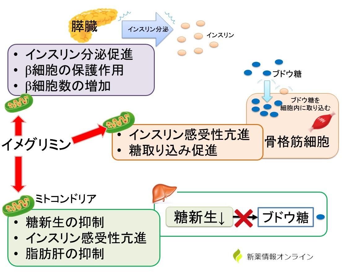 イメグリミンの作用機序:ミトコンドリア機能改善