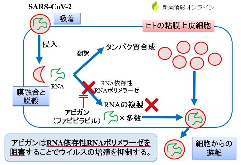 アビガン(ファビピラビル)の作用機序:RNAポリメラーゼ阻害