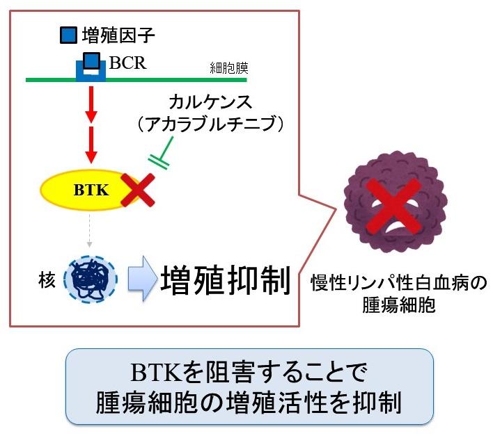カルケンス(アカラブルチニブ)の作用機序:BTK阻害薬