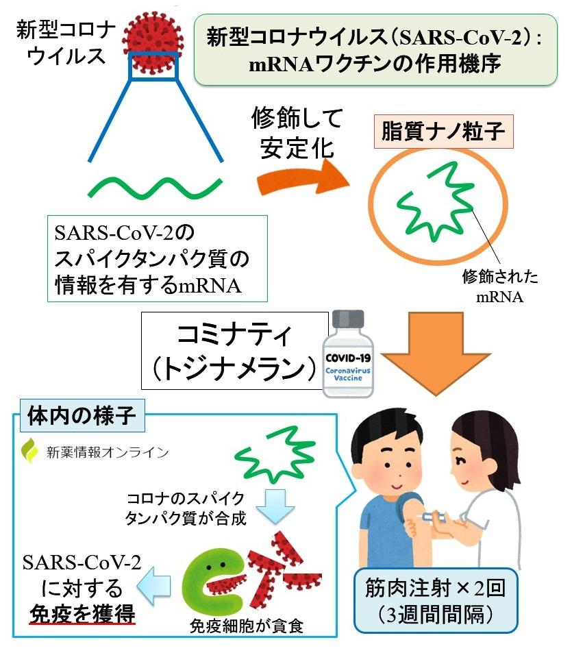 コミナティ筋注(トジナメラン)の作用機序:新型コロナウイルスに対するmRNAワクチン