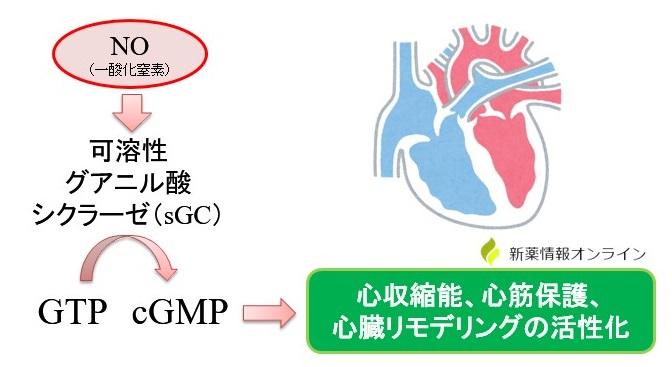 NOが心筋に作用することでsGCが刺激され、心収縮や心保護作用を有する
