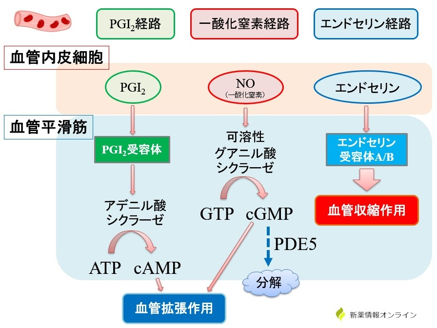 血管収縮に関する経路:プロスタグランジンI2(PGI2)経路、一酸化窒素(NO)経路、エンドセリン経路