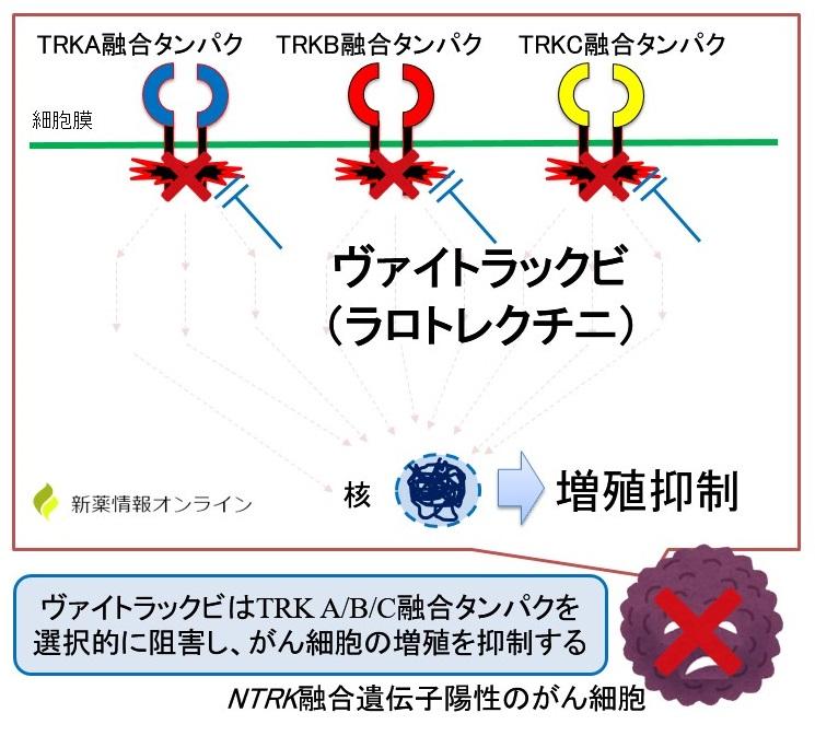 ヴァイトラックビ(ラロトレクチニブ)の作用機序:TRK阻害