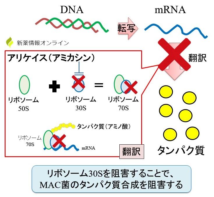 アリケイス(アミカシン)の作用機序:リボソーム30Sの阻害(アミノグリコシド系)