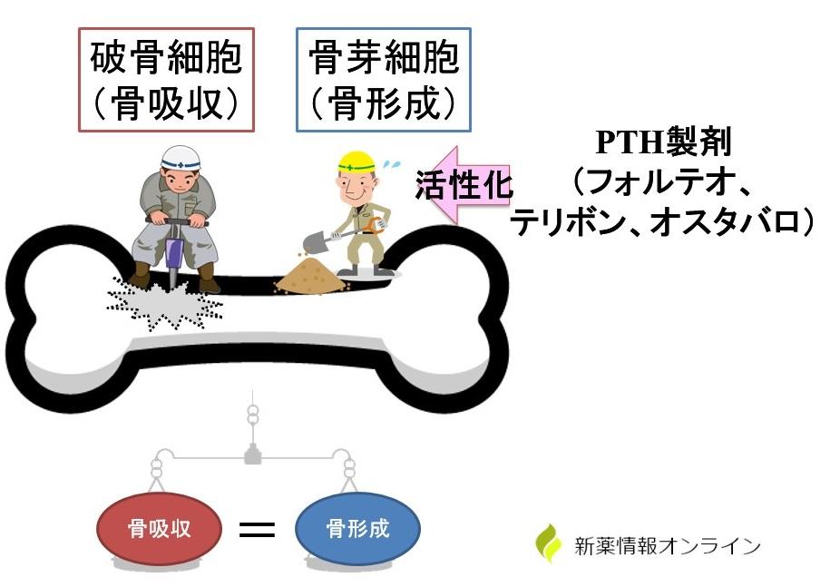 副甲状腺ホルモン製剤(PTH製剤)の作用機序:オスタバロ・テリボン・フォルテオ