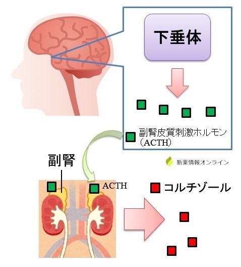 コルチゾール分泌のメカニズム:ACTH