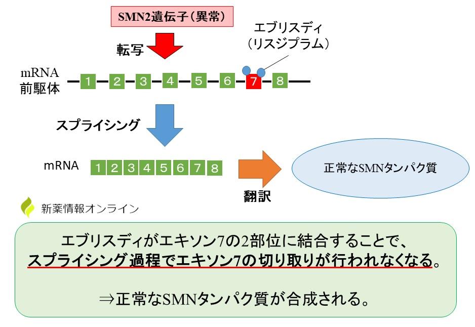 エブリスディ(リスジプラム)の作用機序:エキソン7に結合する
