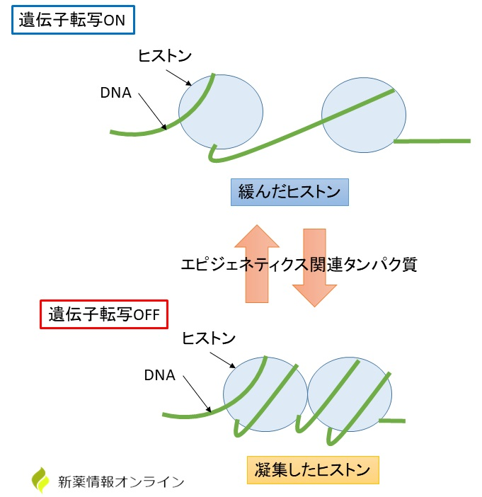 エピジェネティクスとヒストン:遺伝子発現のコントロール