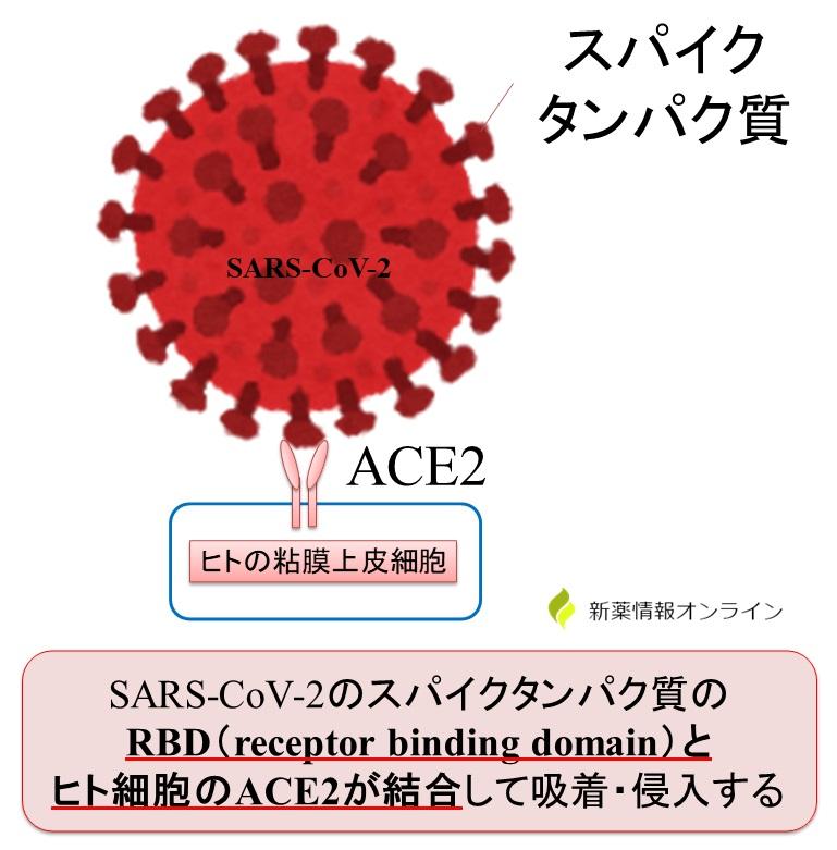 新型コロナウイルス(SARS-CoV-2)のRBD(receptor binding domain)がヒトのACE2受容体と結合することで吸着・侵入が引き起こされる