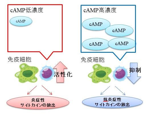 アトピー性皮膚炎の原因:マクロファージやTh2細胞による炎症性サイトカイン