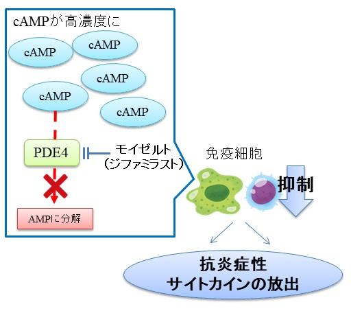 モイゼルト軟膏(ジファミラスト)の作用機序:PDE4の選択的阻害薬
