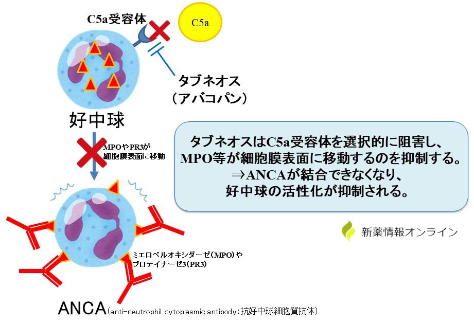 タブネオス(アバコパン)の作用機序:C5a受容体遮断薬