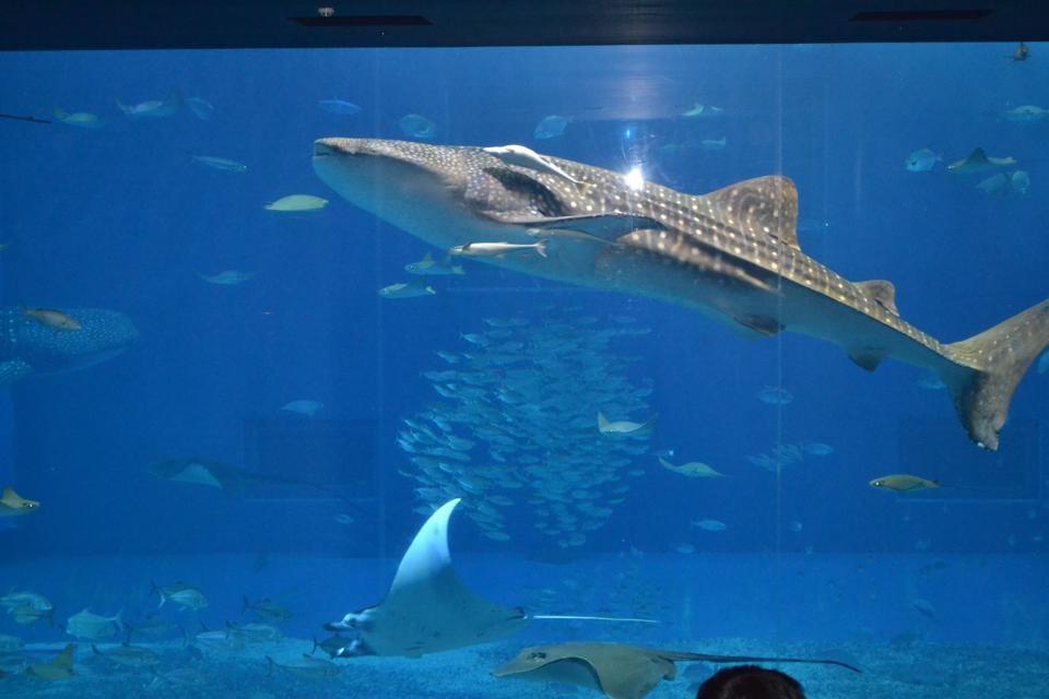 美ら海のジンベイザメ